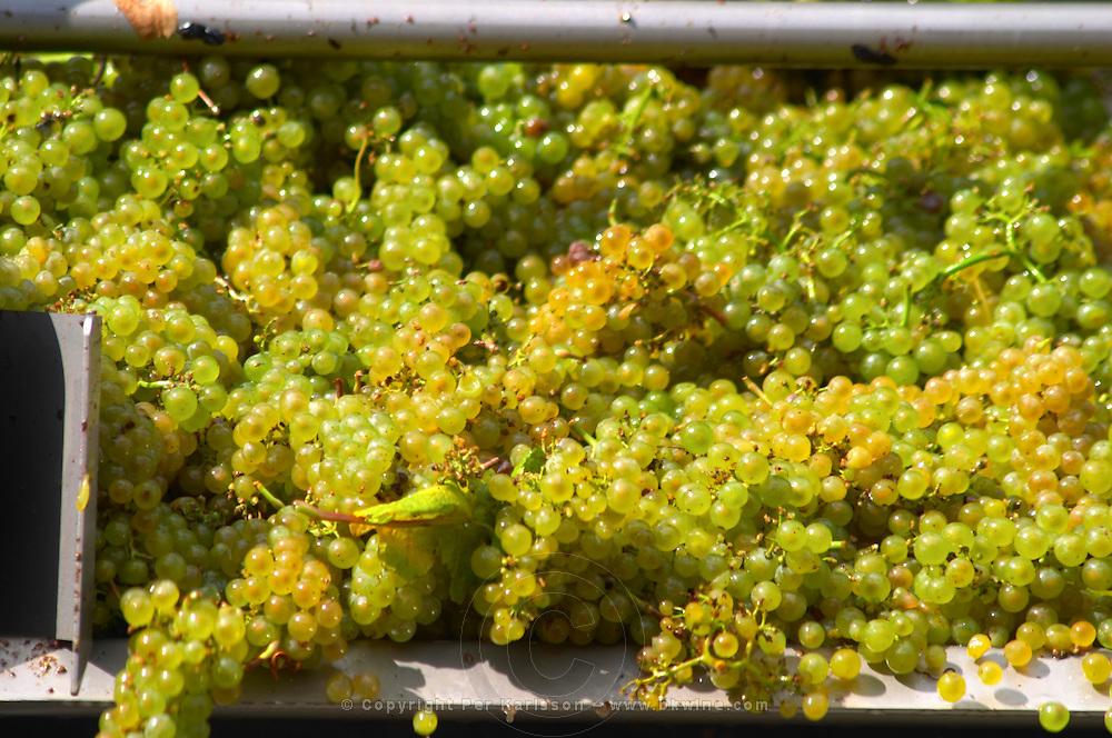 white grapes delivered on a conveyor belt chardonnay clos des langres ardhuy nuits-st-georges cote de nuits burgundy france