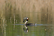 Great Crested Grebe (Podiceps cristatus) adult trying to swallow large tench, Barnes, UK.