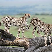 Cheetah (Acinonyx jubatus) siblings checking territorial posts. Masai Mara National Reserve, Kenya, Africa