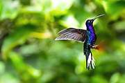Violet sabrewing hummingbird (Campylopterus hemileucurus) feeding from a flower. Hummingbirds feed on nectar and insects. They hover near flowers by flapping their wings many times per second, using a long curved bill to reach the nectar in a flower. This large hummingbird is found in tropical Central America, on the edges of wet mountain forests. Photographed in Costa Rica.