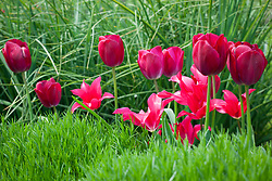 Tulipa 'Doll's Minuet' with T. 'Attila's Elite' -  NB may swap for 'Roussillon' Sarah to decide