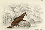'Common Otter - Lutra lutra: carnivore of Muestelidae family: Distribution, Eurasian and North African rivers.  Hand-coloured engraving from ''A History of British Quadrupeds'', Edinburgh, 1838.'