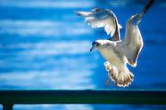 Gulls