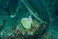 Barberfish Butterflyfish (Johnrandallia nigrirostris) at a cleaning station tending Bluestriped Sea-chub (Sectator ocyurus)<br /><br />Coiba Island, <br />Coiba National Park, Panama<br />Tropical Eastern Pacific Ocean<br /><br />Octopus Rock dive siter