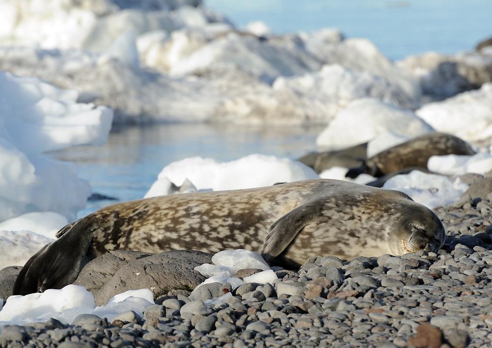 A Weddell Seal (Leptonychotes weddellii) lies on the beach. Paulet Island, Antarctic Peninsula. Antarctica. 02Mar16
