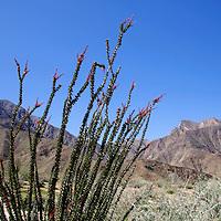 USA, California, San Diego County. Ocotillo graces the landscape of Anza-Borrego Desert State Park.