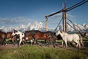 A herd of trail horses moving to the morning corrals in Grand Teton National Park. Historic Jackson Hole, WY
