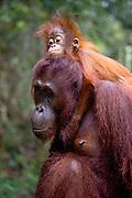 A juvenile orangutan (Pongo pygmaeus) lays his head tenderly on top of his mother's head and wraps his arms around her neck, Borneo, Indonesia