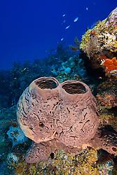 Brown Tube Sponge, Agelas conifera, West End, Grand Bahamas, Atlantic Ocean