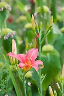 One of the Hemerocallis in the drought tolerant garden