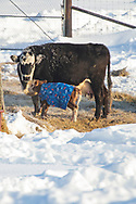 Photo Randy Vanderveen<br /> Grande Prairie, AB<br /> 2020-04-06<br /> A young calf, still wearing a warming blanket to protect it from the morning frost, stays close by its doting mom on the Smith Farm just north of Grovedale Monday, April 6. Many farmers and ranchers who delayed calving until later in the spring to capitalize on warm weather have still had to contend with frigid temperatures as cows are beginning to drop calves. The weather is supposed to be more co-operative as the week wears on.