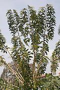 Golden Shower Cassia (Cassia fistula)
