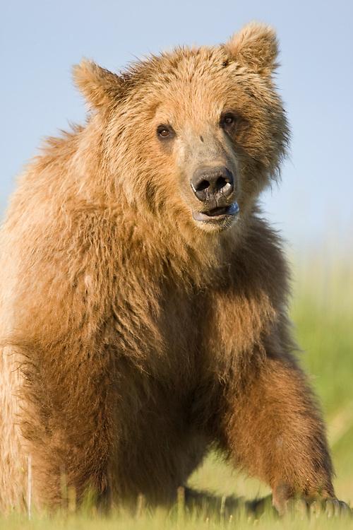 USA, Alaska, Katmai National Park, Brown Bear (Ursus arctos) sitting in meadow along Hallo Bay