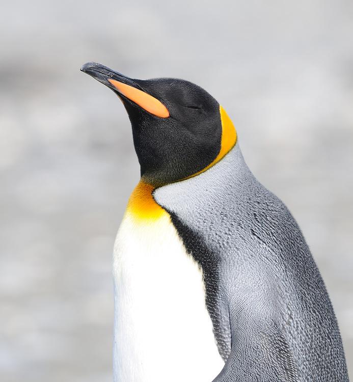 A King penguin (Aptenodytes patagonicus) on the beach near their nesting colony. Salisbury Plain, Bay of Isles, South Georgia. 19Feb16