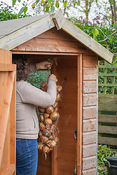 Hanging up onions in a shed to store over winter. Allium cepa