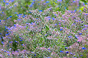 Blue Borage, Borago officinalis, in organic vegetable garden in Oxfordshire UK