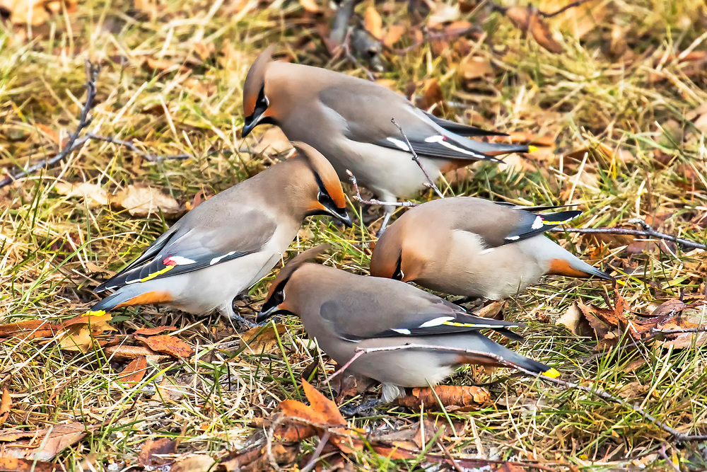 Alaska.  A group of four adult Bohemian Waxwings (Bombycilla garrulus) on the ground in a dry grassy area feeding on birch seeds in Anchorage in February.  Usually seen in large flocks of as many as several hundred birds, they swoop from one food source to another, often chattering vociferously while feeding.