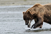 A grizzly bear boar eats a chum salmon in the lower lagoon at the McNeil River State Game Sanctuary on the Kenai Peninsula, Alaska. The remote site is accessed only with a special permit and is the world's largest seasonal population of brown bears.