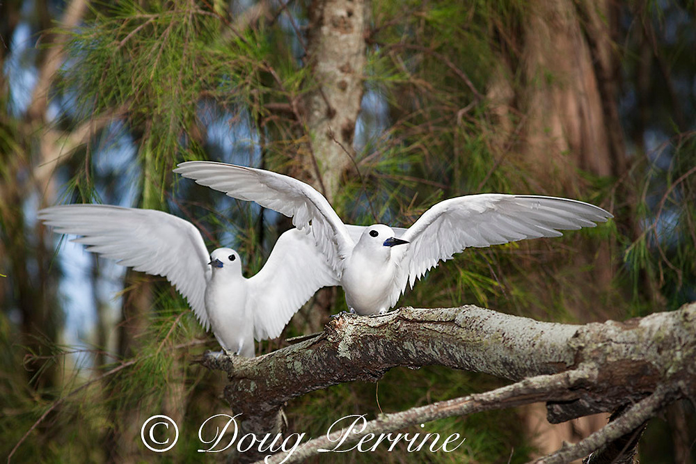 white tern or fairy terns, Gygis alba rothschildi, Sand Island, Midway, Atoll, Midway Atoll National Wildlife Refuge, Papahanaumokuakea Marine National Monument, Northwest Hawaiian Islands, USA ( Central North Pacific Ocean )