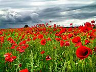 Photographer: Chris Hill, Wild Poppy, Carlow