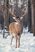 Whitetail deer (Odocoileus virginianus) during the autumn rut