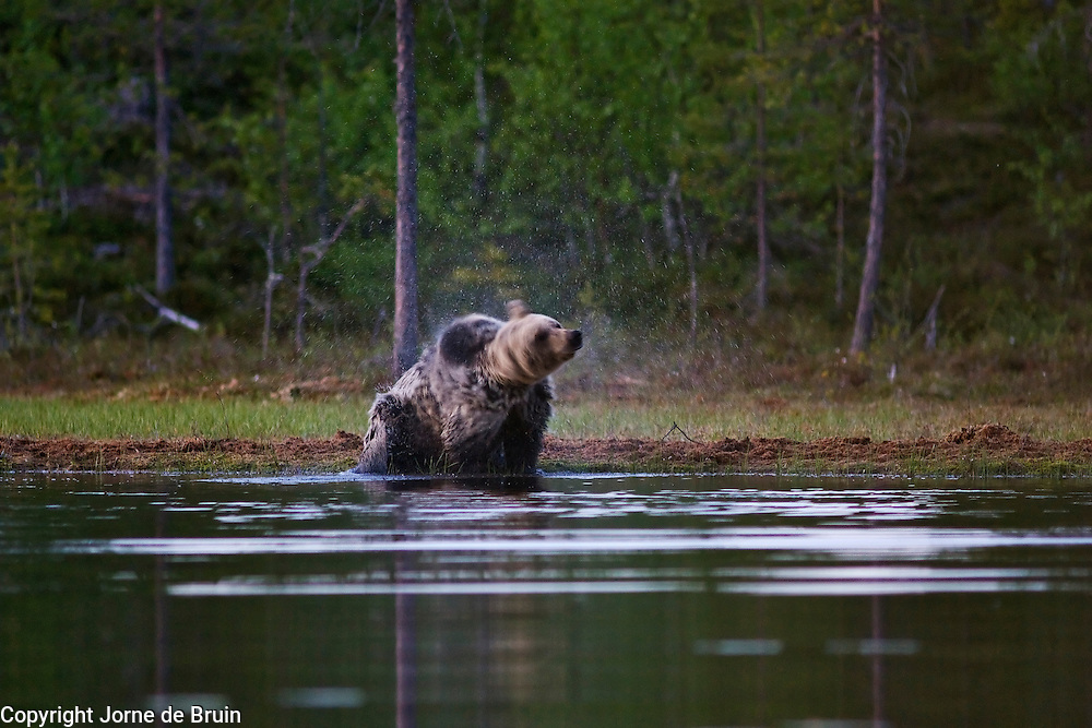 An Eurasian Brown Bear shakes the water out of his fur at the edge of a lake in the forest in Finland.