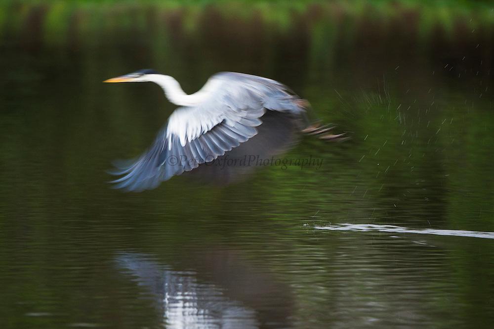 White-necked Heron (Ardea cocoi)<br /> Northern Pantanal<br /> Mato Grosso<br /> Brazil