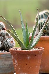 Aloe vera in a terracotta pot