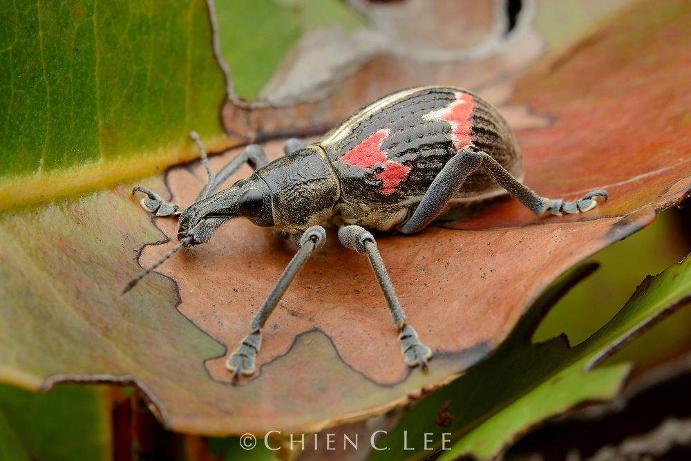 Weevil (Rhinoscapha cf. humboldtiana). Papua, Indoensia (New Guinea).
