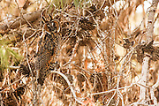 Juvenile Long-eared Owl (Asio otus) camouflaged in a tree. This owl inhabits woodland near open country throughout the northern hemisphere. It is strictly nocturnal and feeds mainly on small mammals such as mice and voles Photographed in Israel in July