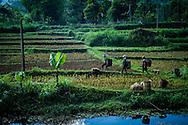 Farmers walk through paddy fields in Mai Chau area, Hoa Binh Province, Vietnam, Southeast Asia