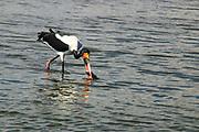 Two Saddle-billed Stork (Ephippiorhynchus senegalensis) wading in water. Photographed at Lake Manyara National Park, Tanzania
