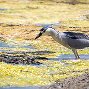 A Great Blue Heron (Immature Blue Form) eyes fish below the surface in the Malibu lagoon. The baby Blue Heron would sit still and wait for the fish to come close.