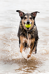 Wallace keeping cool in the sea again this time on Hornsea dog friendly beach<br /> <br />  03 August 2018<br />  Copyright Paul David Drabble<br />  www.pauldaviddrabble.co.uk