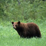 Black Bear, (Ursus americanus) Minnesota, cinnamon sow moving across grassy clearing. Summer.