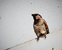 House Sparrow (Passer domesticus). Rest Stop on the A7 Highway between Marrakech and Casablanca. Image taken with a Nikon N1V2 camera and 10-100 mm VR lens.