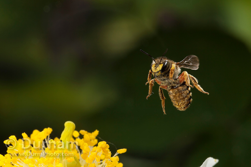 A leaf-cutter bee (anthidium sp.) pollinating a flower in western Oregon. © Michael Durham / www.DurmPhoto.com