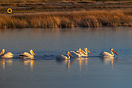 White Pelicans at Freezeout Lake WMA near Fairfield, Montana, USA