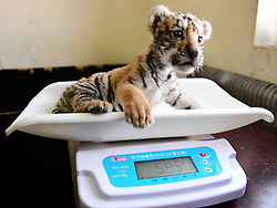 February 5, 2018 - Shenyang, Shenyang, China - Shenyang,CHINA-5th February 2018: An adorable Siberian tiger cub can be seen at a tiger park in Shenyang, northeast China's Liaoning Province. (Credit Image: © SIPA Asia via ZUMA Wire)