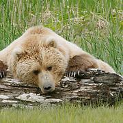 Lone Alaska brown bear resting on driftwood. Alaska. Summer.