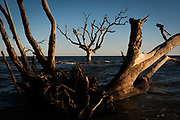A ghost forest, known alternatively as a boneyard beach, seen on Hunting Island, S.C., Tuesday, October 19, 2021. As sea levels rise and salt water seeps into previously unaffected coastal flora and salt marsh areas, the plants wither, and only the thickest parts of trees remain. (Photo by Cameron Pollack for NPR)