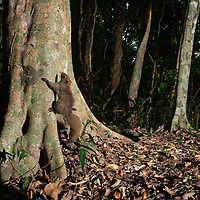 Pallas's squirrel (Callosciurus erythraeus), also known as the red-bellied tree squirrel, is a species of squirrel native to the western borders of Thailand.