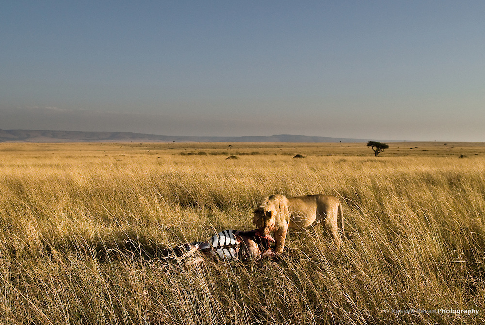 A juvenile male lion feeding on a zebra kill in the Masai Mara National Park, Kenya