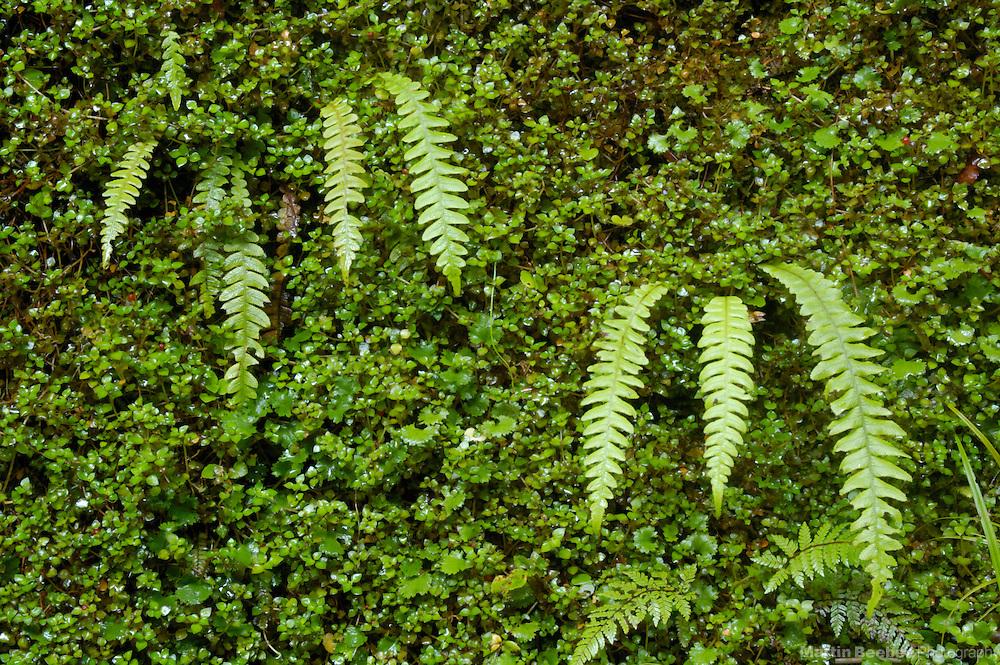 Ferns growing on bank, Westland National Park, New Zealand