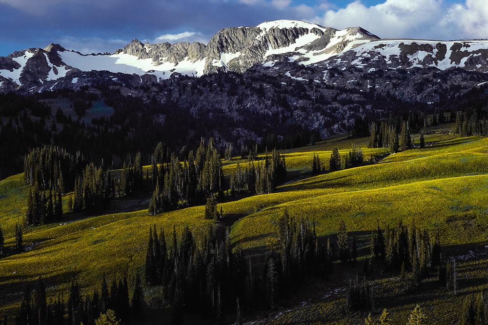 Moose Basin, wild sunflowers, morning light, Grand Teton National Park, Wyoming, USA