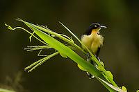 Black-capped Donacobius (Donacobius atricapilla) above Anangu creek in Yasuni National Park, Orellana Province, Ecuador