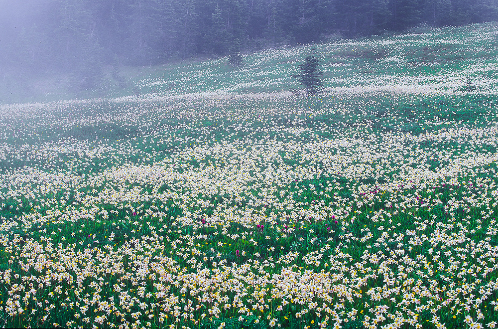 Avalanche lilies and Indian paintbrush, fog, alpine meadow, Obstruction Point, Olympic National Park, Washington, USA
