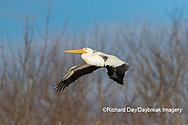 00671-01018 American White Pelican (Pelecanus erythrorhynchos) in flight Clinton Co.  IL