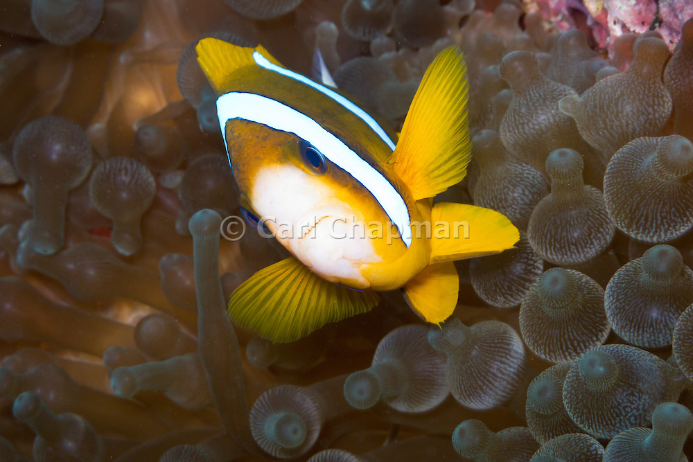 Bulb Tentacle Sea Anemone (entacmaea quadricolor) and Barrier Reef Anemonefish (Amphiprion akindynos) - Agincourt Reef, Great Barrier Reef, Queensland, Australia. <br /> <br /> Editions:- Open Edition Print / Stock Image