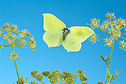 Brimstone Butterfly, Gonepteryx rhamni, in flight, UK, high speed photographic technique, free flying